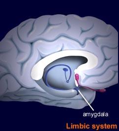 midbrain-limbic-system-amygdala